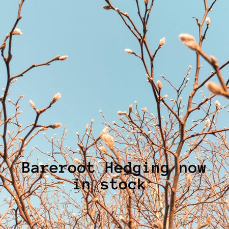 Bare-root Hedging Now In-Stock