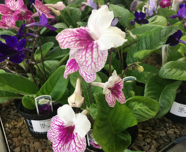 Streptocarpus and Begonias from Dibleys Nurseries
