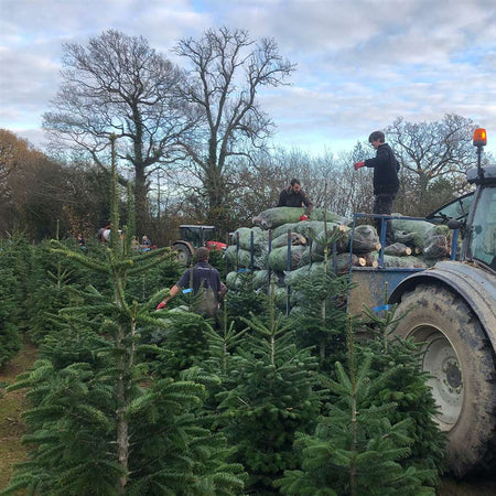 Kent Grown Christmas Trees Now In-Stock!