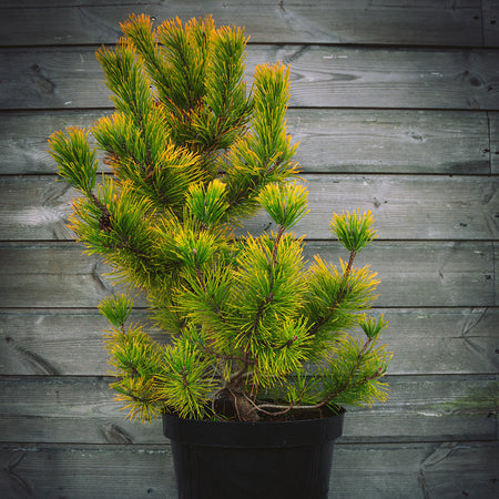 Golden Conifers