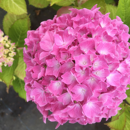 Hydrangea Ball Pink, baby pink mophead hydrangea at Lime Cross Nursery