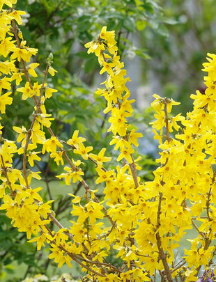 连翘'Mini Gold', yellow flowers 2x