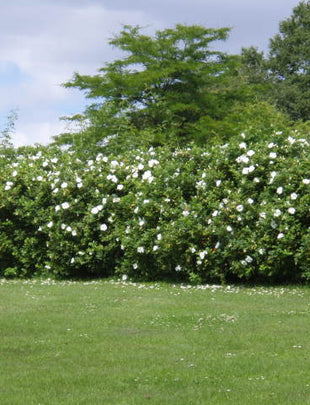Japanese Rose Bare-Root Hedging (Rosa Rugosa)