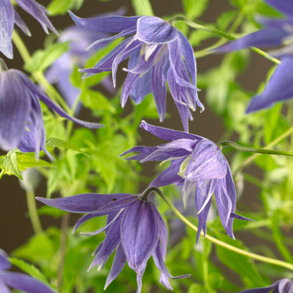 Clematis Mac. 'Maidwell Hall', purple flower