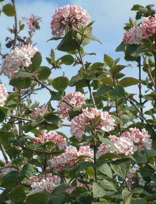 Viburnum Carlesii 'Aurora', white and pink flowers