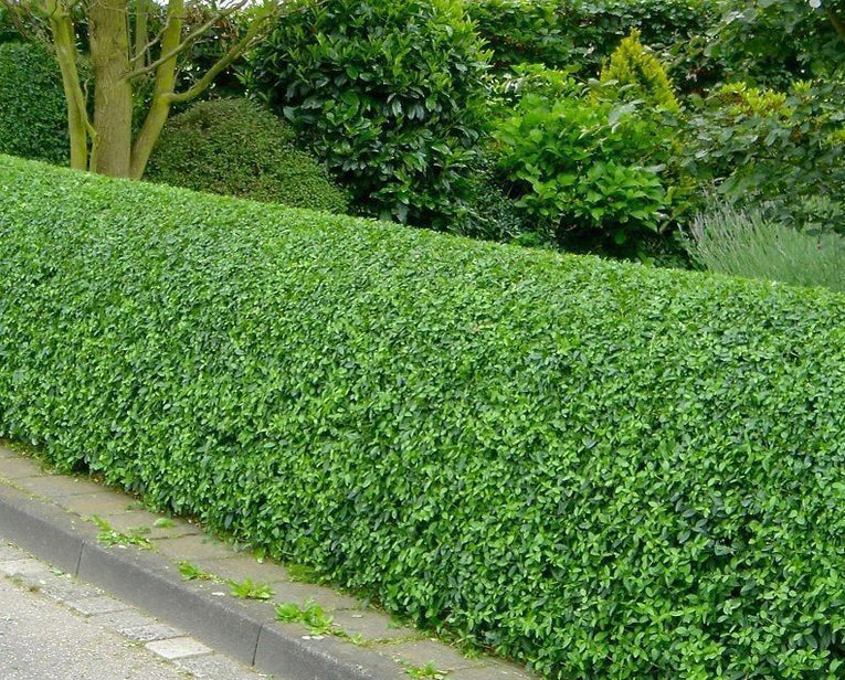 Privat (Ligustrum Vulgare) Bare-Root Hedging
