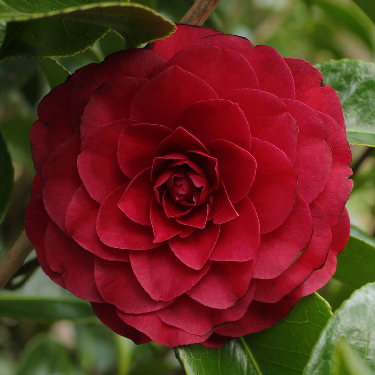 Camelia 'Roger Hall', red flowers
