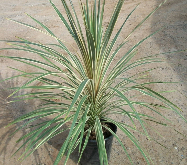 Cordyline Kiwi Dazzler, evergreen palm like shrub