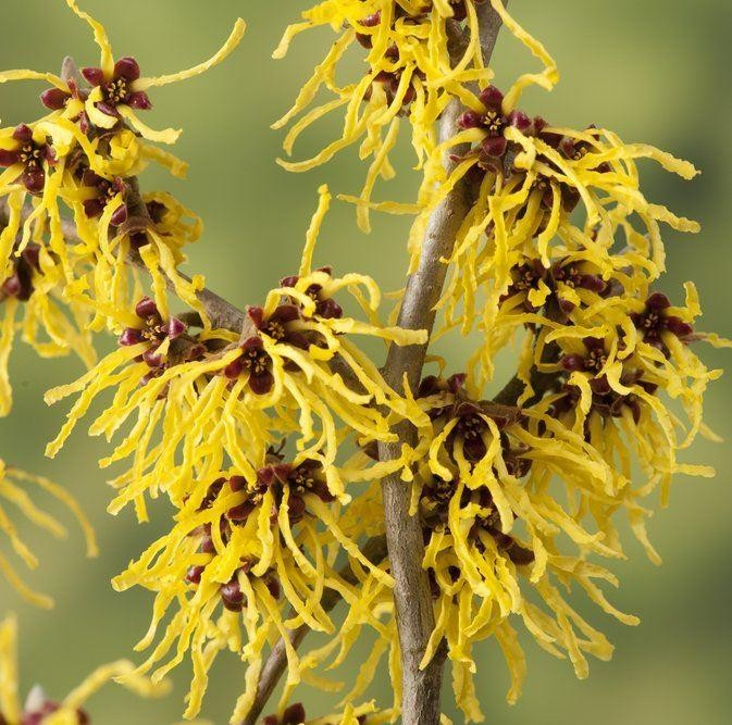 Hamamelis Interm 'Westerstede', fragrant yellow flowers