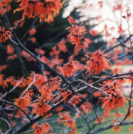 Hamamelis Intermedia 'Diane', fragrant red flowers