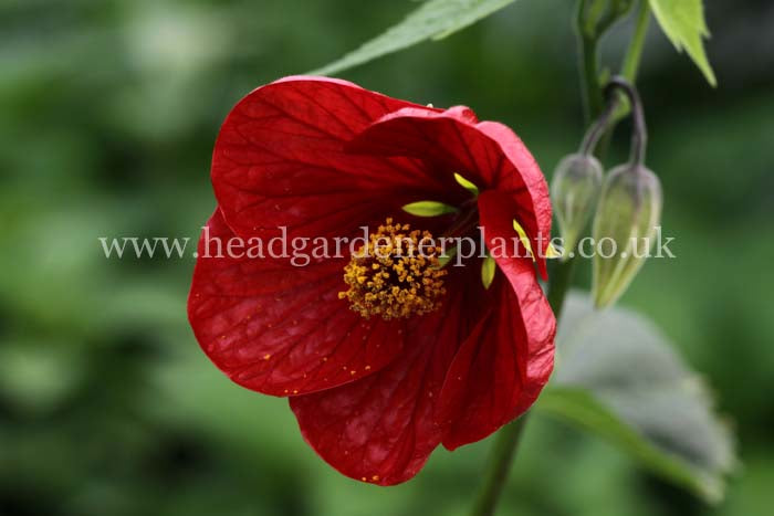 Abutilon nabob, red flowers