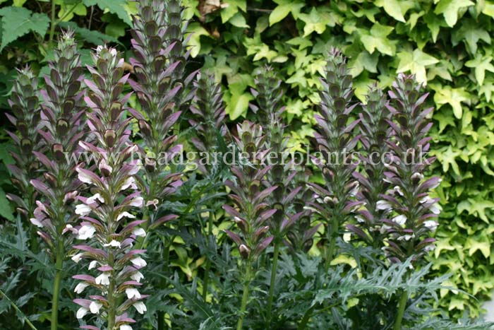 Acanthus spinosus, dark green