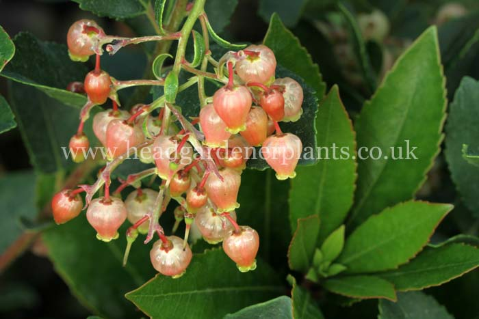 Arbutus unedo f. rubra  pink strawberry tree