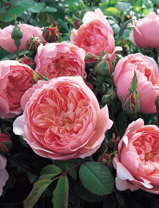 David Austin Rose Alnwick Rose, pink flower, scented