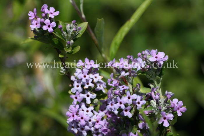 Buddleja alternifolia, purple flowers