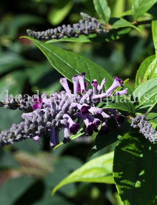 Buddleja Lindleyana, fragrant purple flowers