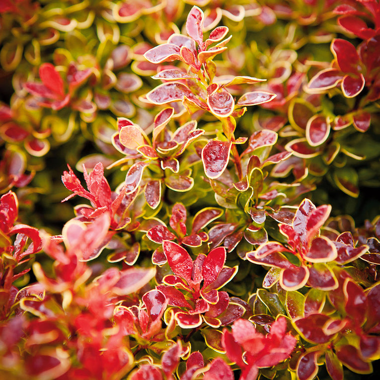 Berberis 'Admiration' bright orange foliage
