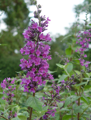 Buddleja Longstock Pride, fragrant purple flowers