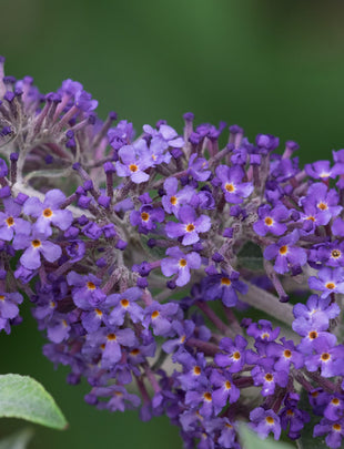 Buddleja Summerhouse Blue, purple fragrant flowers