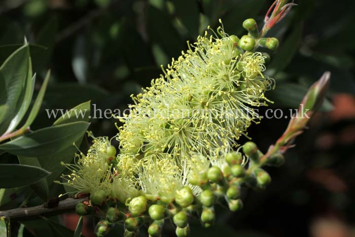 Callistemon Pallidus, yellow flowers