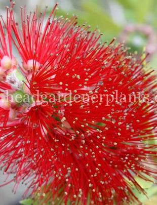 Callistemon Red Cluster, shrub, red flowers