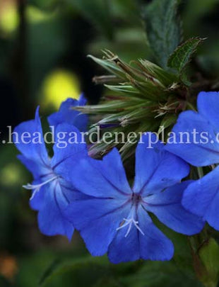 Ceratostigma will. Forest Blue = Lice (PBR), bright blue flowers