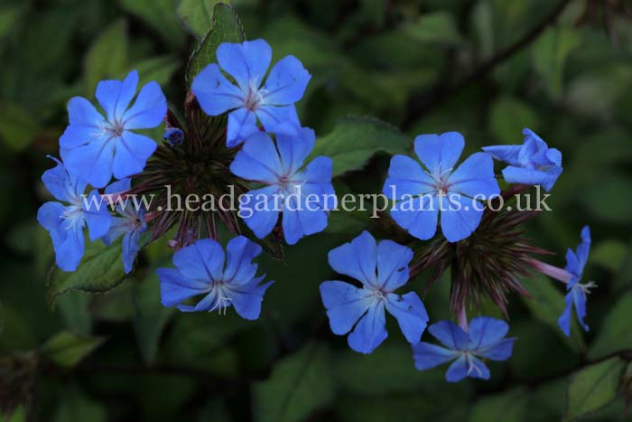 Ceratostigma Willmottianum, bright blue flowers