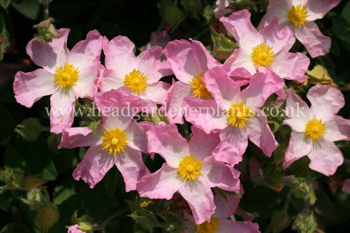 Cistus Grayswood Pin, pink flowers