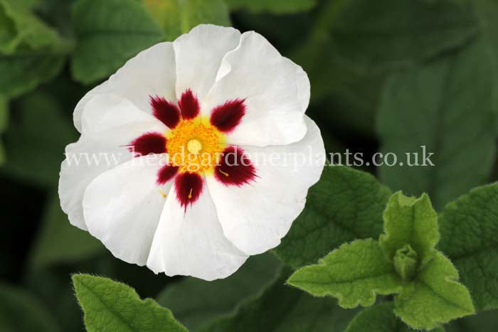 Cistus Snow Fire, white and maroon