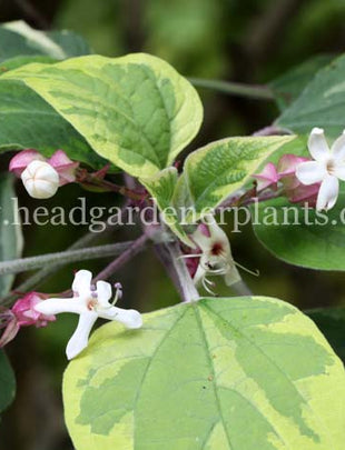 Clerodendrum Trichotomum Carnival, pink and white flowers