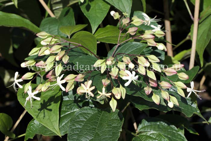 Clerodendrum trichotomum var. fargesii, pink and white flowers