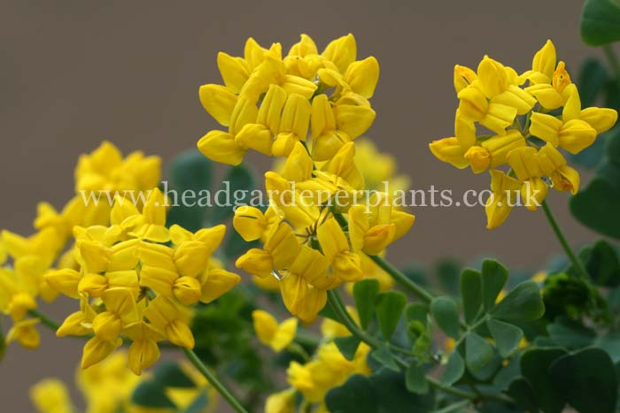 Coronilla valentina subsp. glauca Brockhill Blue, yellow flowers