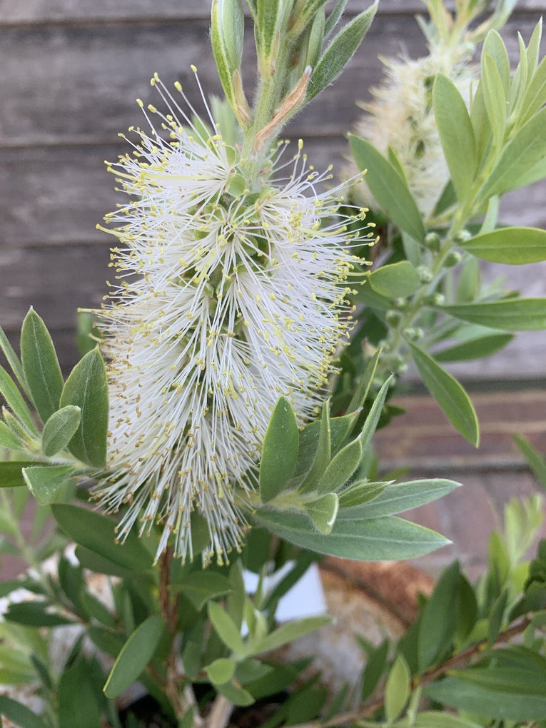 Callistemon Citrinus White Anzac, shrub, white flowers