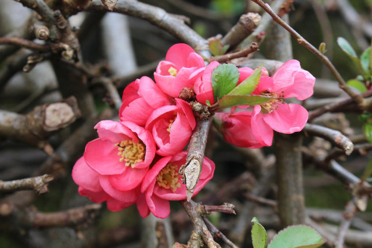 Chaenomeles 'Pink Lady', pink flowers, fragrant fruit