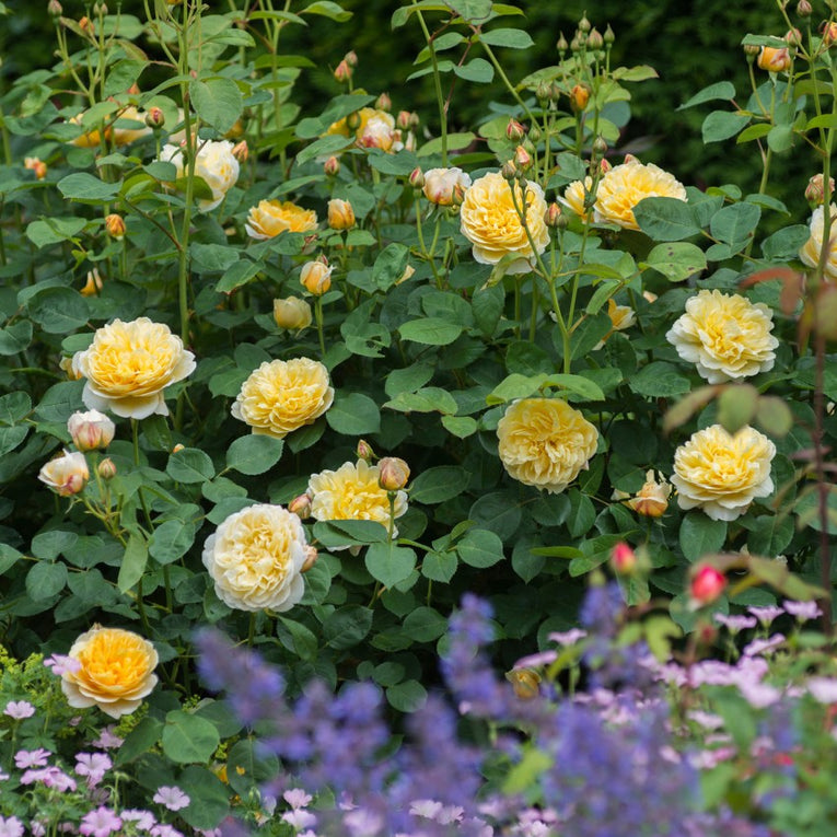 David Austin Rose Charlotte, yellow flower
