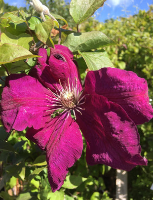 Clematis 'Rouge Cardinal', pink flower