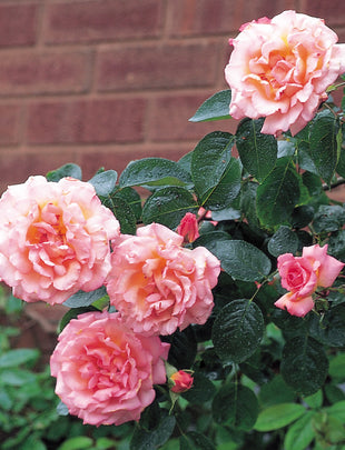 David Austin Rose Compassion, coral pink flowers