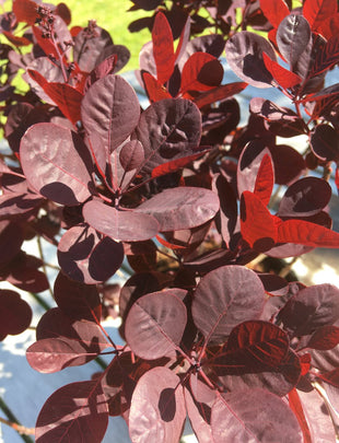 黄ggy'Lilla', deep red leaves 2x
