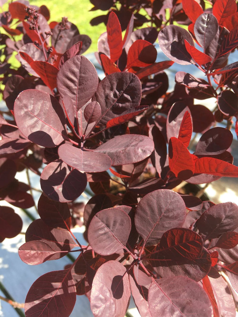 黄ggy'Lilla', deep red leaves