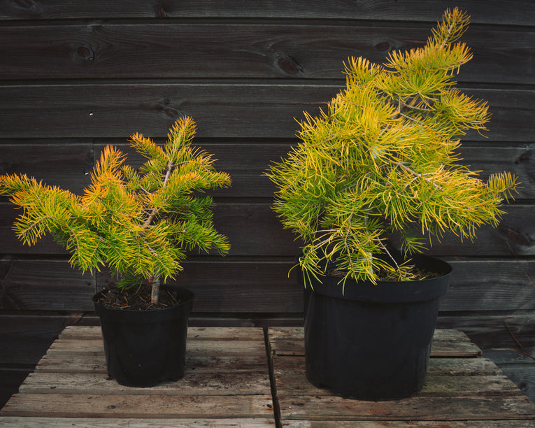 Abies concolor 'Wintergold'