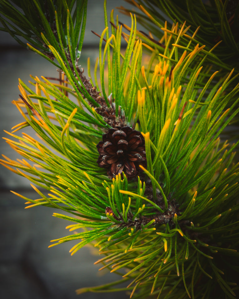 Pinus mugo 'December Gold'