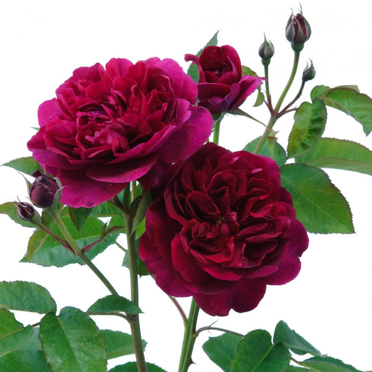 David Austin Rose Darcey Bussell