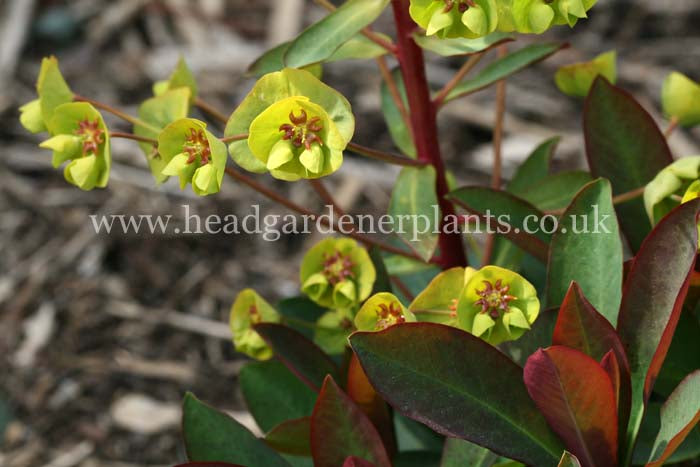 Euphorbia Whistleberry Garnet, evergreen