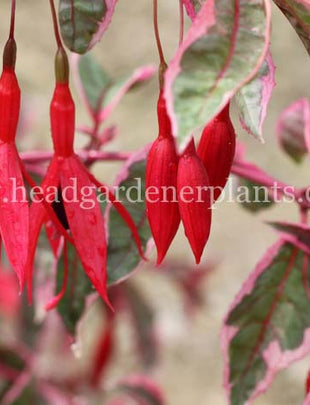 Fuchsia Tom West, red flowers