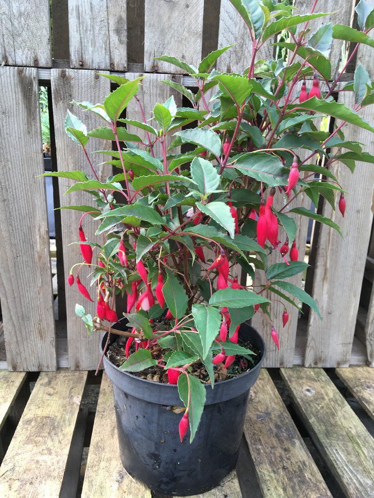 Fuchsia 康妮莉森夫人, red and white flowers