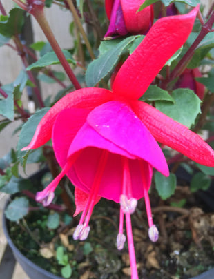 Fuchsia Pink Fizz, red flowers