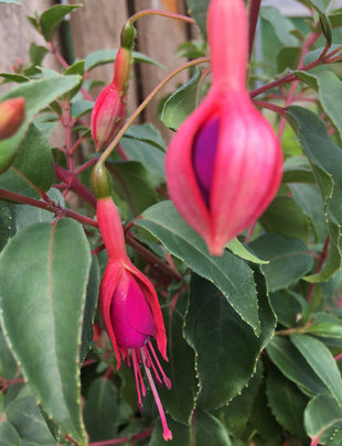 Fuchsia Chillerton Beauty, red and purple flowers