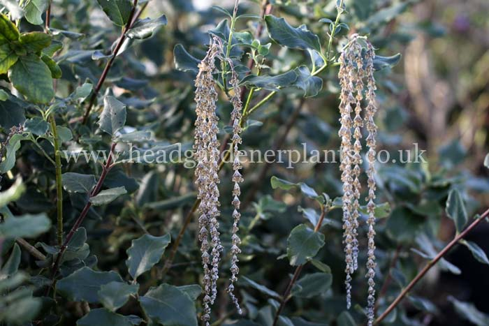 Garrya Elliptica James Roof, evergreen,