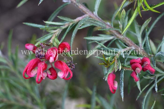 Grevillea Clearview David, shrub, red flower