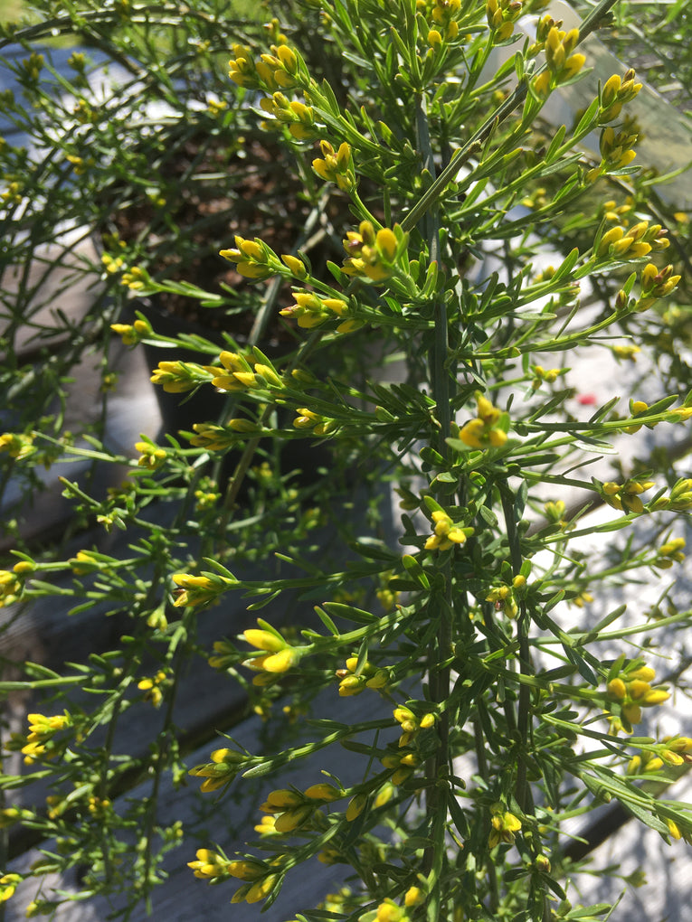 Genista Lydia, yellow flowers